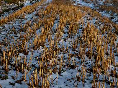 stubble field in winter - snow