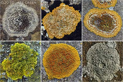 lichens found on churchyard gravestones in suffolk