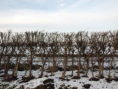 snow-field-hedge