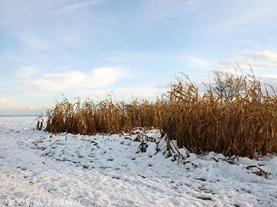 snow-field-maize