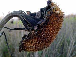 photograph of a dead sunflower - wabi sabi