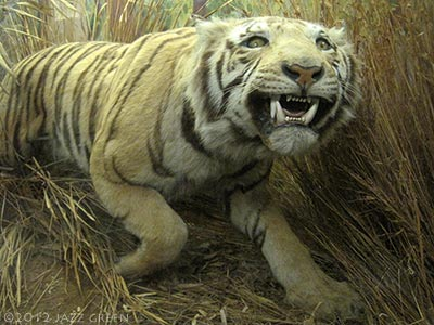 taxidermy in the museum, stuffed tiger