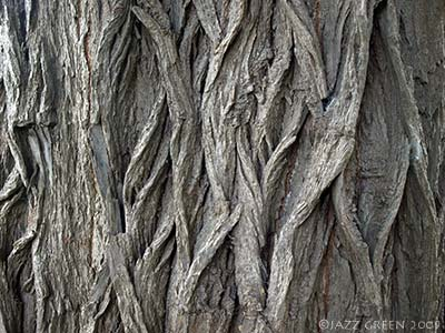 detail of bark texture - willow tree