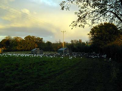 white free-range hens in a meadow field