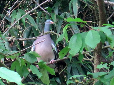 photograph of a wood pigeon building a nest